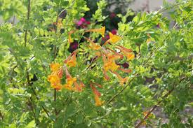yellow bells an easy plant for desert landscaping