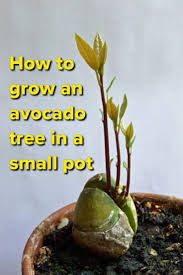 best 25 grow avocado tree ideas on avacado seed plant