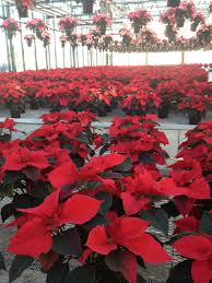 the impatient gardener poinsettias in every color even blue