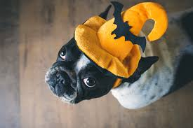 cute dog halloween costumes velvet snout doggy daycare