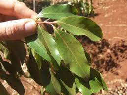 Teh Arab ribuan pohon khat diamankan di polda jabar poskota news