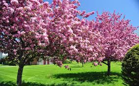 blossom trees spring spring pink blossom trees wallpaper 2880x1800 31864