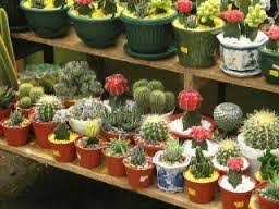 ornamental cactus plant for sales chennai