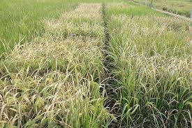 Plant Diseases Caused By Microorganisms - scientists engineer disease resistant rice without sacrificing yield