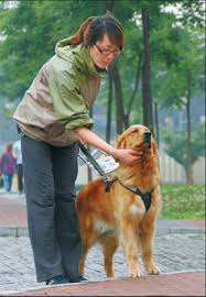 How Does A Guide Dog Help A Blind Person Guide Dogs Encounter Blind Spot