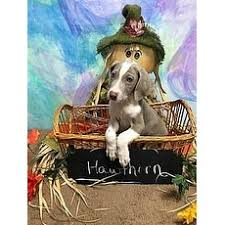 bluetick coonhound rescue illinois mixed bluetick coonhound for adoption