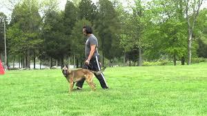 belgian shepherd temperament zj zorro junior belgian malinois temperament test youtube
