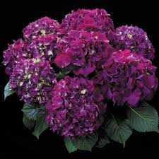 purple hydrangea hydrangea purple prince beautiful flowers and roses