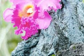 Trees With Pink Flowers Flowering Trees With Orchid Llike Flowers Home Guides Sf Gate