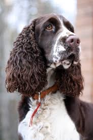 english springer spaniel google search love those springers
