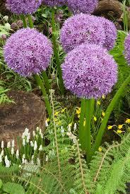 allium globemaster plant flower stock photography