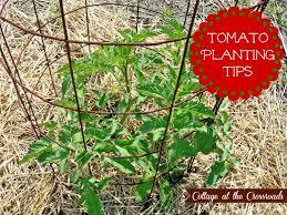 stylist ideas tomato gardening tips wonderfull design 1000 images