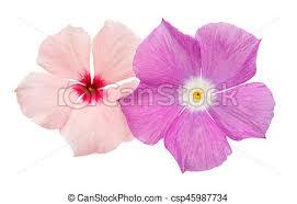 vinca flowers beautiful pink vinca flowers madagascar periwinkle stock