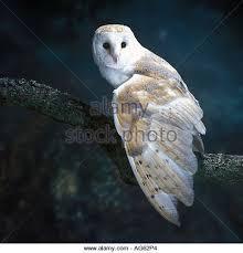 Barn Owl Photography Barn Owl Perched Branch Stock Photos U0026 Barn Owl Perched Branch