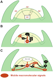 plants free full text plasmodesmata mediated cell to cell