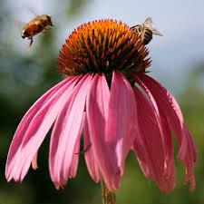 echinacea flower echinacea purpurea seeds herb garden seeds