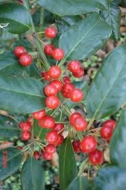 american beauty native plants beautyberry louisiana blooms