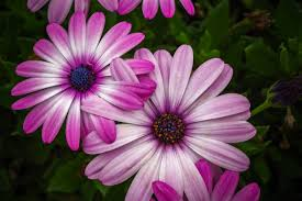 pink daisy flowers free image peakpx
