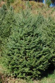 selecting a tree krueger u0027s christmas tree farm