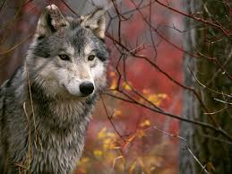 imagenes de fondo de pantalla lobos lobo en el bosque 1024x768 animales imágenes para fondos de pantalla