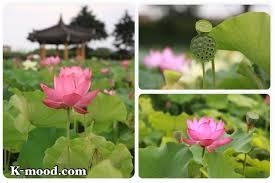 Lotus Flower In Muddy Water - pink the color of the lotus flower k mood com