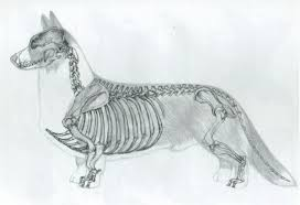 drawn corgi anatomy pencil and in color drawn corgi anatomy