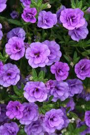 best 25 million bells ideas on pinterest container flowers