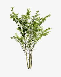 sparse plant trees thin trees plant png image and clipart for