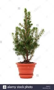 small fir tree in ceramic pot on white background stock photo