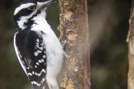 common redpoll photos great backyard bird count south
