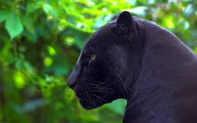 black panther 2018 4k wallpapers panther hunting 59 wallpapers u2013 live wallpapers