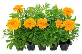 balkon grã npflanzen studentenblumen als balkonpflanzen balkon