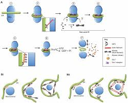 novel roles for actin in mitochondrial fission journal of cell