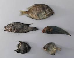 5 real fish taxidermy fish mount home decor art skull skeleton