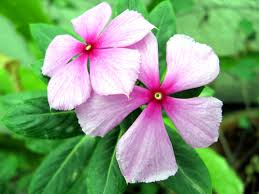vinca flower sadafuli in marathi vinca flower indiashots india photo