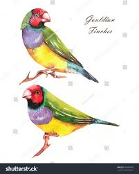 handdrawn watercolor illustration couple gouldian finches stock