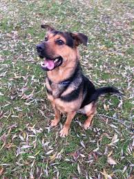 belgian shepherd x rottweiler tammy u2013 2 year old female german shepherd cross rottweiler dog for