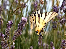 swallowtail butterfly wikipedia