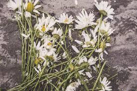 free images blossom flower floor urban daisy botany decay