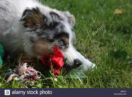australian shepherd welpen 4 monate blue eyed australian shepherd dog stock photos u0026 blue eyed