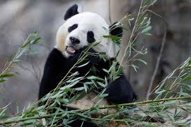 national zoo giving its giant panda an epic sendoff new york post