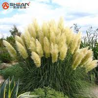 wholesale planting ornamental grasses buy cheap planting
