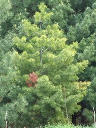 white pine tree white pine blister rust umn extension