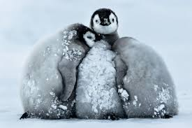 Cute Penguin Meme - super cute penguin chicks huddle up to keep warm in 24皸c