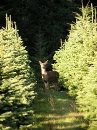 landgren christmas trees farm fresh christmas trees and wreaths