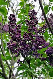 purple lilac my blooming lilacs the martha stewart blog