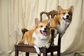 100 the queens corgis these two corgis are certainly