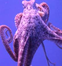 octopuses choose favorite tentacles popular science