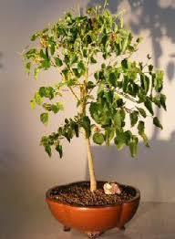 best flowering fruiting bonsai trees