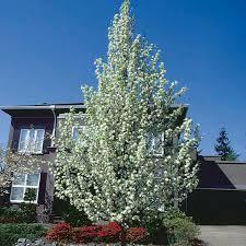 flowering pear callery pear chanticleer pyrus calleryana my